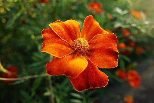 marigold-3968218__340