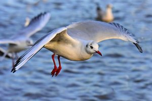seagull-3968222__340