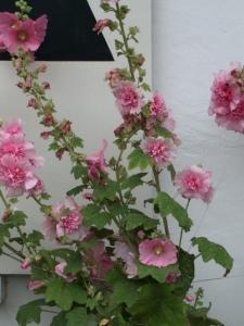 stokrozen rose